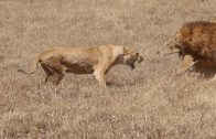 Lionesses Attacking Male Lion