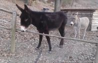 Clever Donkey Finds A Smarter Way To Cross The Fence