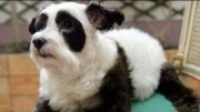 Panda Dog – A Dog Made To Look Like Panda