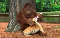 Orangutan Takes Care Of Tiger Cubs