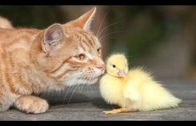 Funny Cats Meeting Cute Baby Animals Compilation