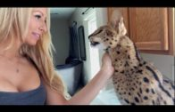 An African Wild Cat Says 'Mamma'