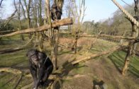 Chimpanzees Get Drone Down And Shoot Each Other