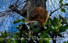 Grey Headed Flying Foxes In Peril
